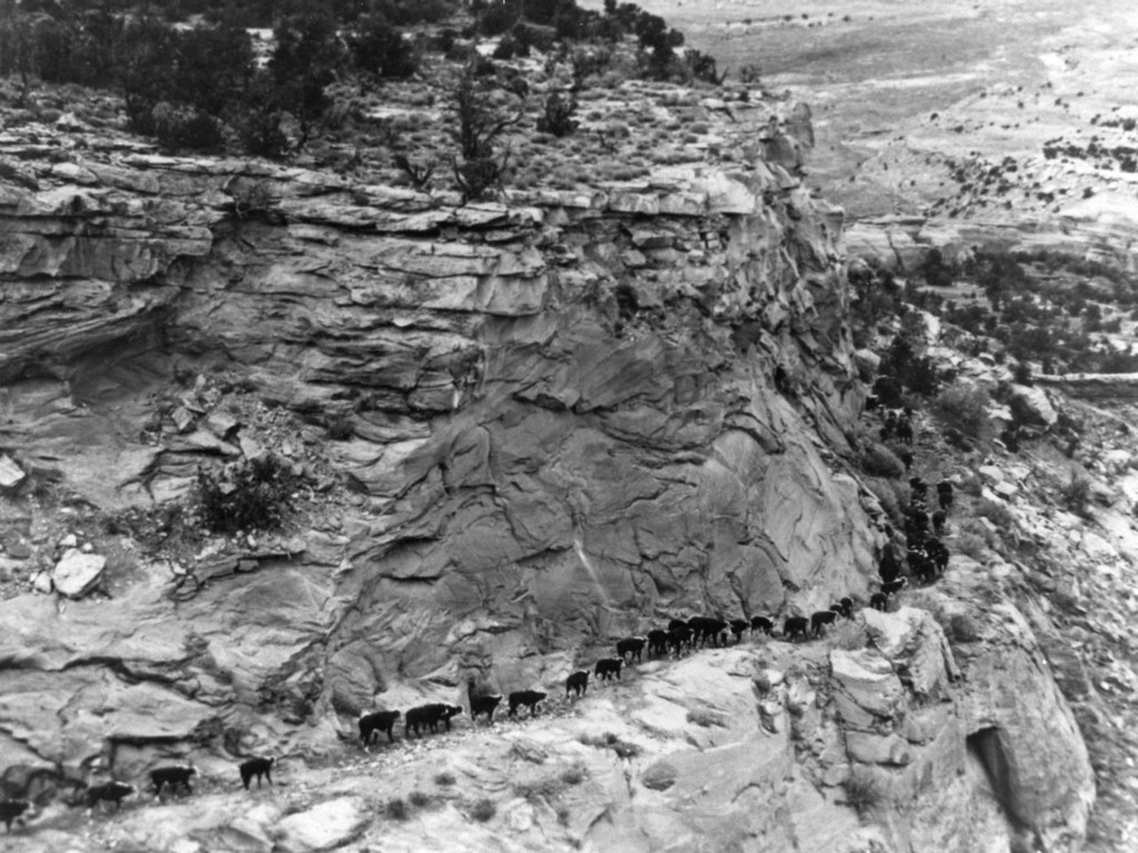Cattle on the Fruita Dugway
